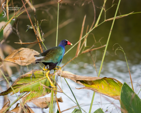 Wakodahatchee Wetlands: Delray Beach: Dec 30, 2014 8145