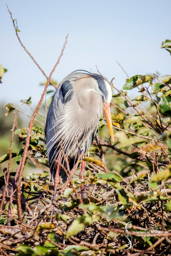 Wakodahatchee Wetlands: Delray Beach: Dec 30, 2014 8186