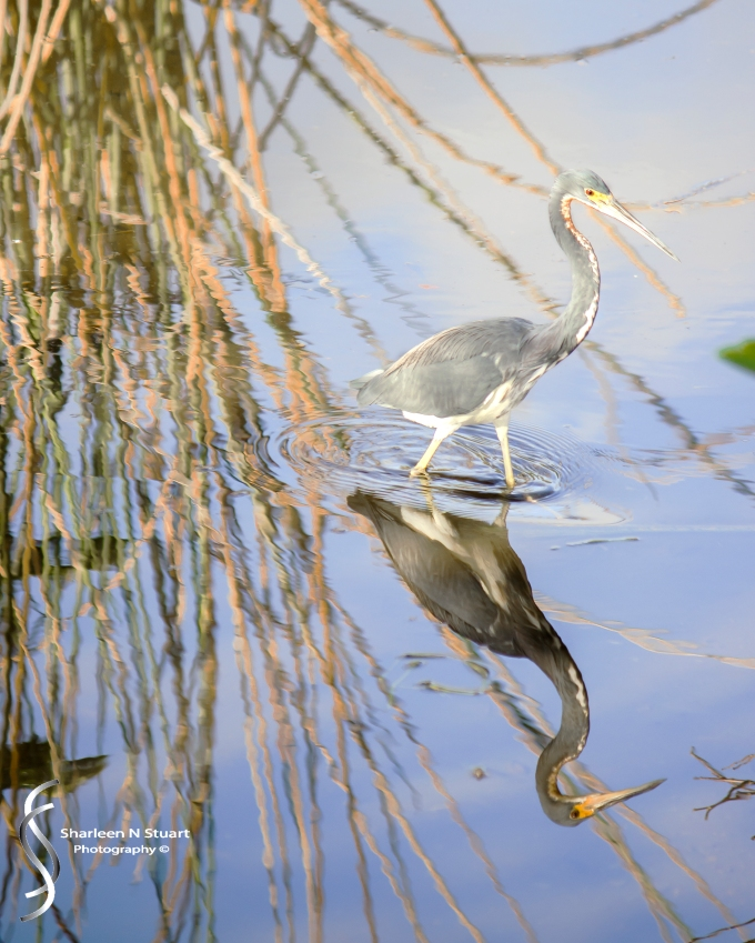 Wakodahatchee Wetlands: Delray Beach: Dec 30, 2014 8226