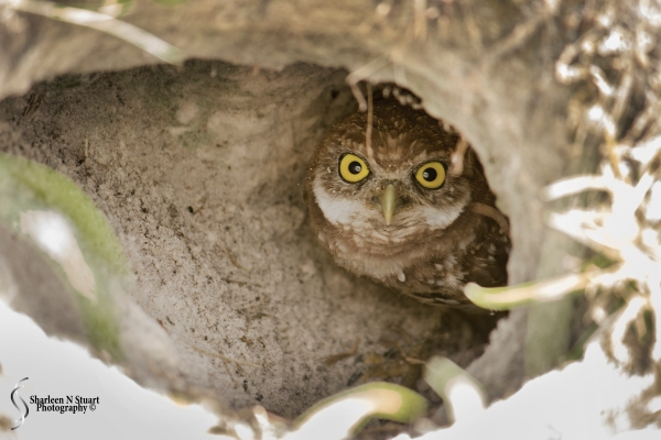 Burrowing Owls: Davie: July 25, 2014 3922