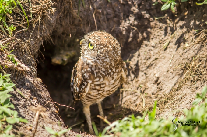 Burrowing Owls: Davie: July 25, 2014 3944