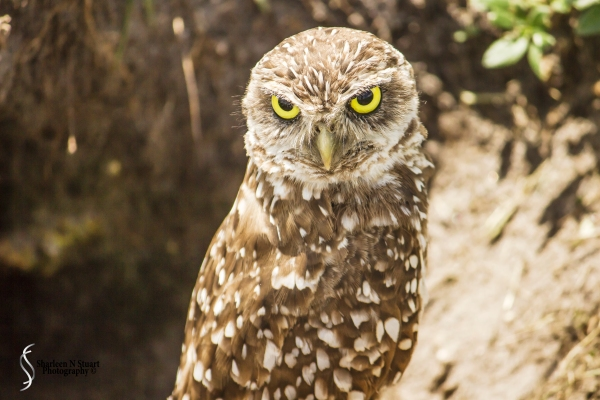 Burrowing Owls: Davie: July 25, 2014 3948
