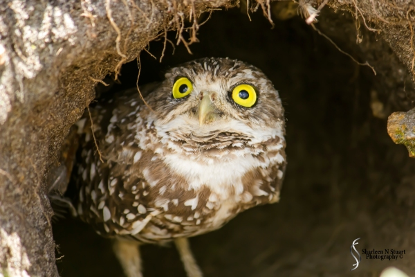 Burrowing Owls: Davie: July 25, 2014 3954