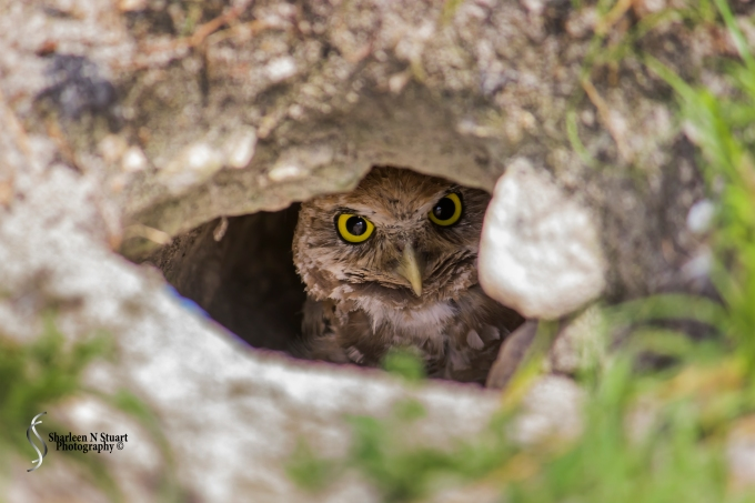 Burrowing Owls: Davie: July 25, 2014 3968