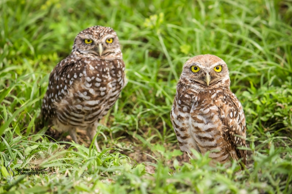 Burrowing Owls: Davie: July 25, 2014 3977