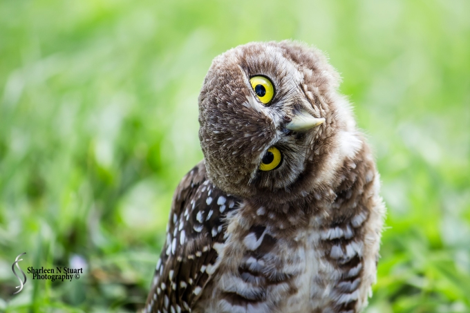 Burrowing Owls: Davie: July 25, 2014 4000