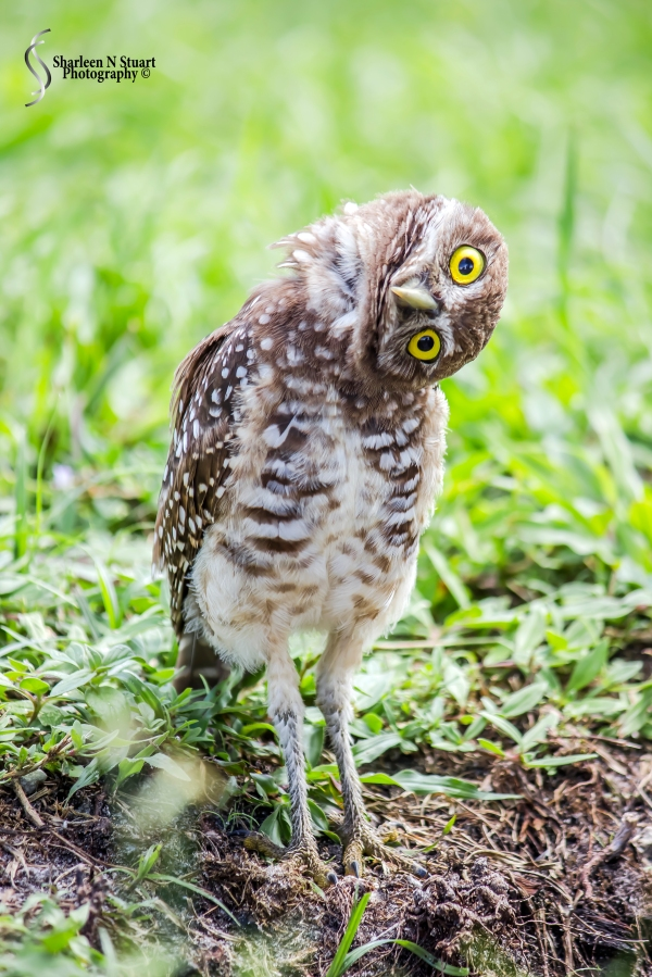 Burrowing Owls: Davie: July 25, 2014 4006