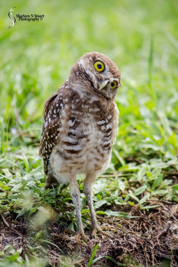 Burrowing Owls: Davie: July 25, 2014 4007