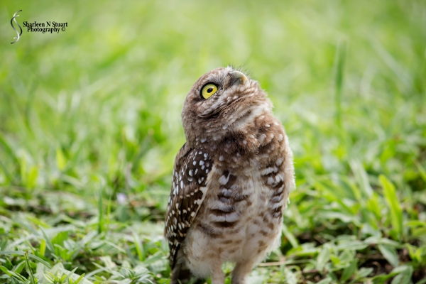Burrowing Owls: Davie: July 25, 2014 4010