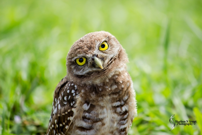 Burrowing Owls: Davie: July 25, 2014 4015