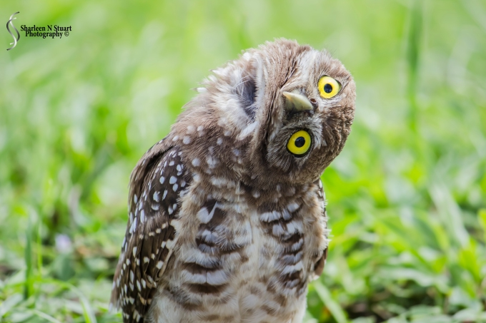 Burrowing Owls: Davie: July 25, 2014 4022