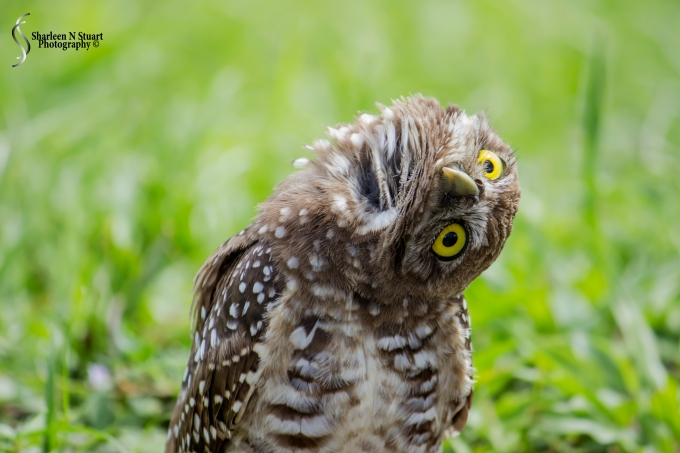 Burrowing Owls: Davie: July 25, 2014 4023