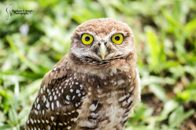 Burrowing Owls: Davie: July 25, 2014 4025