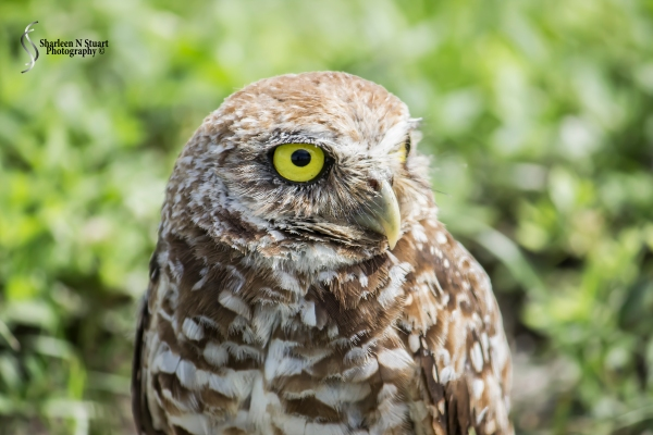 Burrowing Owls: Davie: July 25, 2014 4054