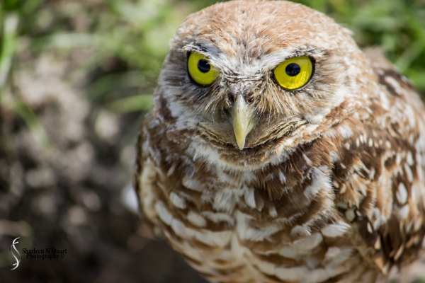 Burrowing Owls: Davie: July 25, 2014 4057