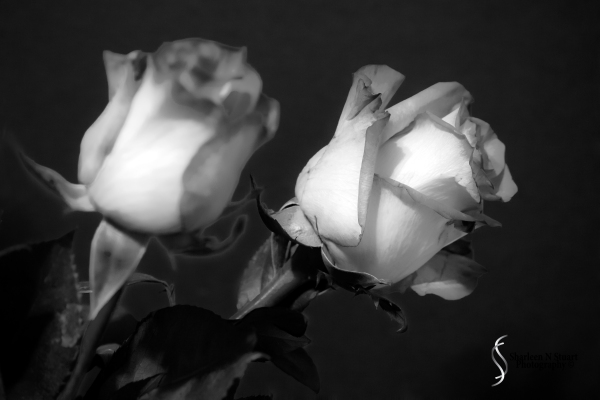 Rose:  February, 5, 2015 0989