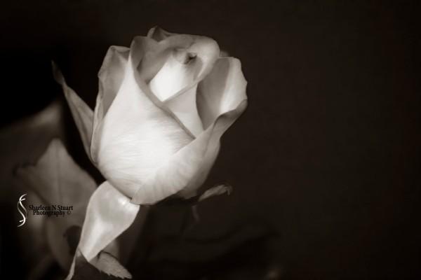 Rose:  February, 5, 2015 0996