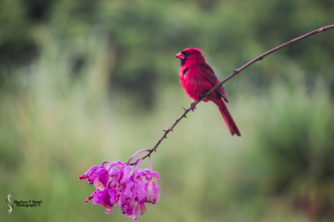 The Cardinal is still hanging around.  It keeps flying off and landing on the wild orchid.  I am convinced that spike is going to break soon.