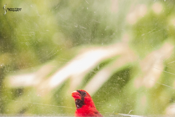 The Cardinal looking in the window