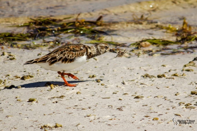 A Dunlin Sandpiper with a hermit crab.