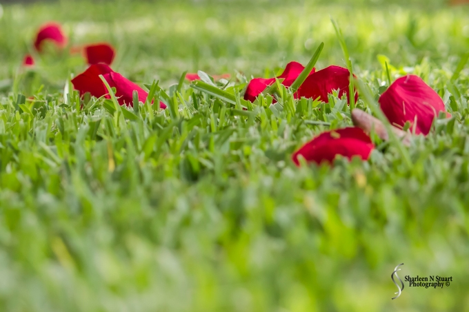 Rose petals on the grass