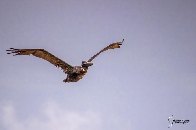 Incoming Pelican