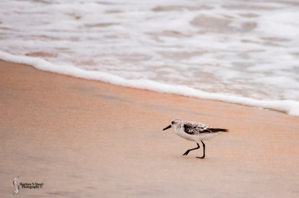 A Sandpiper scrambling for food.