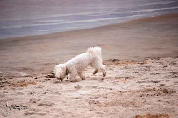 A little pooch on the beach.