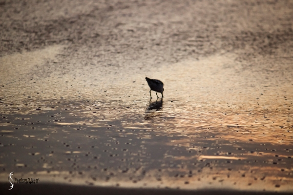A Sandpiper searching for early morning snacks