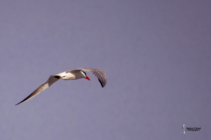 A tern flying over the ocean