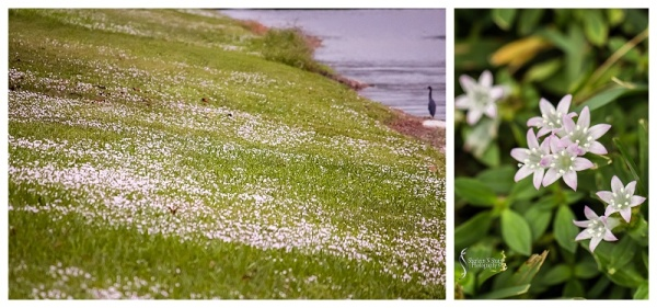 My version of snow in Florida. Made up of tiny little white flowers which are weeds.