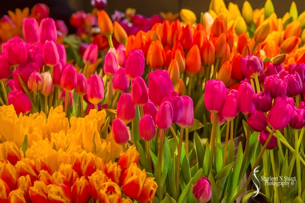 Tulips at the Pike Street Market.