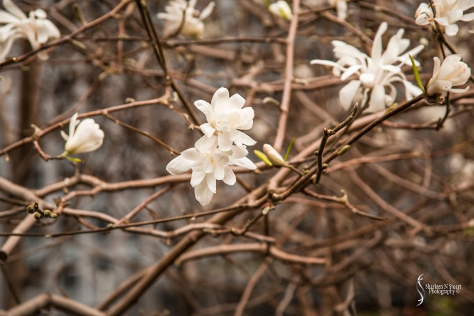 Blossoms near the library