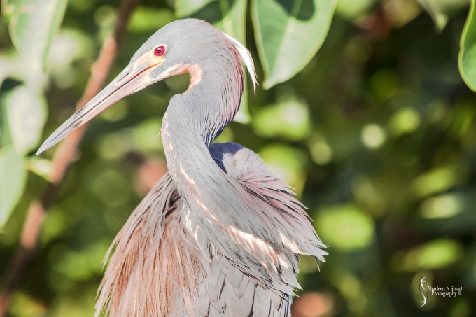 Walking in the wetlands - Tricolored Heron