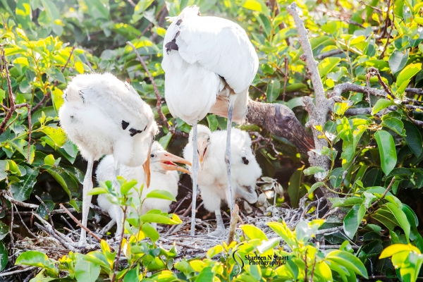 Woodstork and chicks