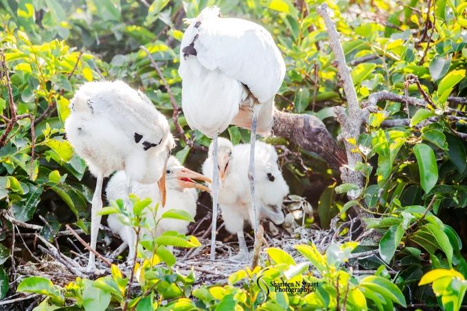 Woodstork and chicks