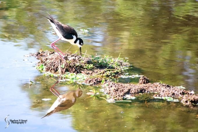 Stilt sitting on what looks like 4 eggs. She kept getting up and turning them this morning