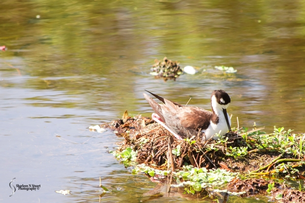 "This Stilt had created a nest in a ""dry"" spot due to low levels of water. However, we have had some increase in the water level. She laid and was nesting on 4 eggs. Friday I got to see them which was a rare treat. Sadly a young resident gator must have discovered the nest on Friday afternoon or Saturday. By Saturday mid morning the Stilts had gone and the 4 eggs had disappeared and the gator was hanging out."