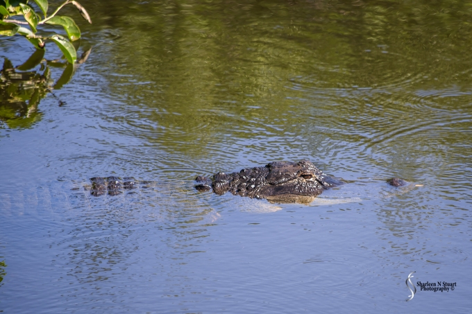 I do believe that this Aligator was the cause of the demise of the Stilt eggs. The good news is the parents are building a new nest. The bad news is that the silly things are building it in a similar area.