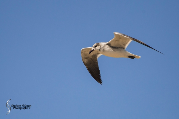 A Seagull doing a fly by.