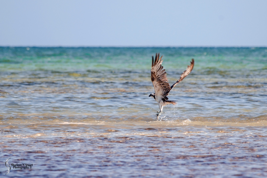 An Osprey with it's dinner.