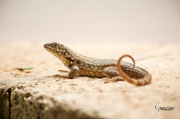 """I crouched down to take a photo of this curly tailed lizard and the next thing I heard was and exclamation """" Ooh she is taking a photo of the lizard - I have never seen one this size before"""" Clearly a visitor to Florida."""