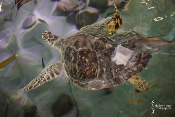 Turtle rehabiliation