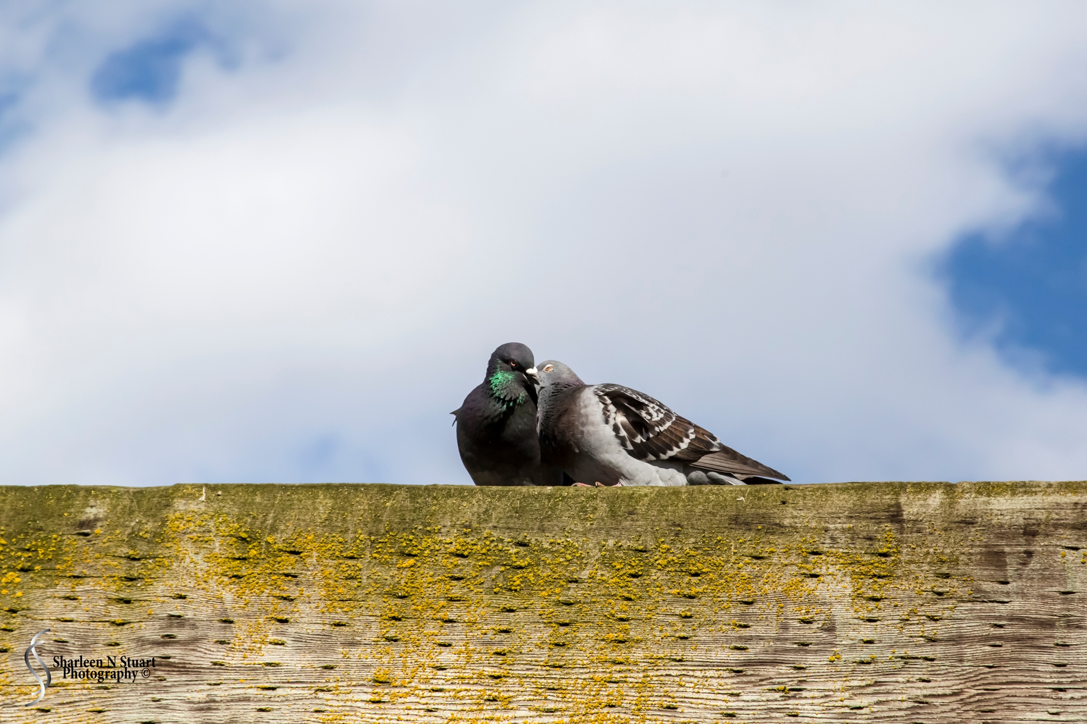 Love is in the air - even if it is just the pigeouns