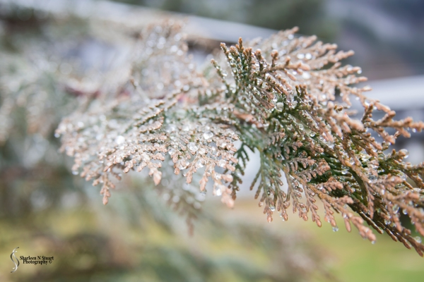 Ice particles covered the fir trees.