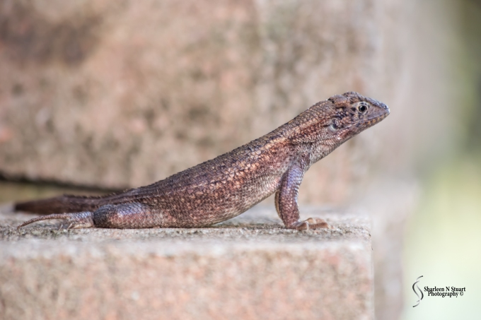 The simple pleasures in life can be found right at your back door. I happened to go outside and spotted this curly tailed lizard sunning himself on the rocks