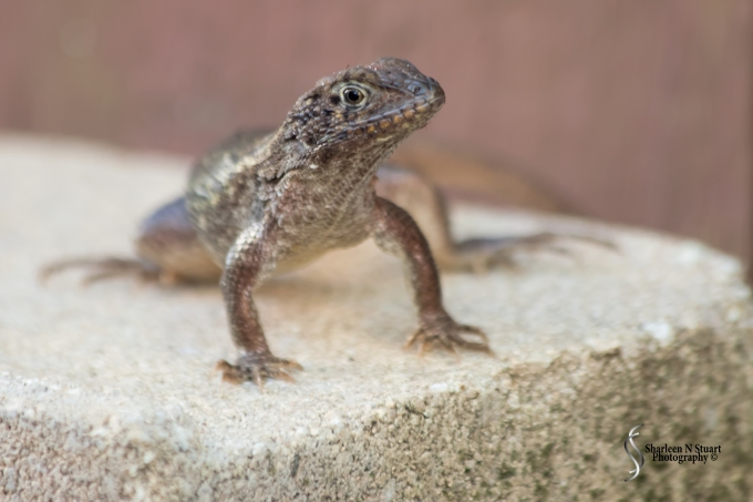 The simple pleasures in life can be found right at your back door. My suntanning Curly Tail Lizard