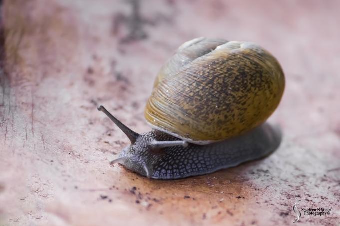 A apple snail that hatch in the garden