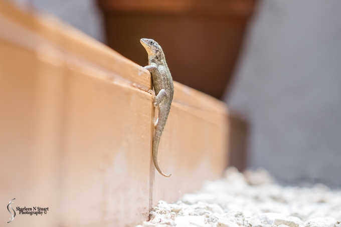 My Curly Tail Lizard caught climbing up onto the deck