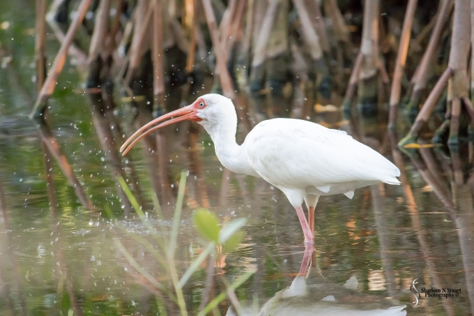 A White Ibis attempting to catch fish